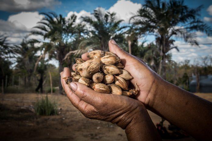Licuri se consolida na Bahia com qualificação e valorização da produção
