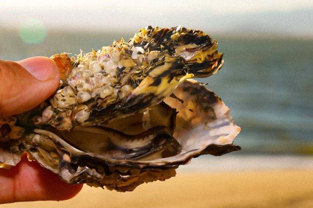 Está liberado o comércio e cultivo de ostras e mexilhões de Cacupé, Santo Antônio de Lisboa e Sambaqui, em Florianópolis