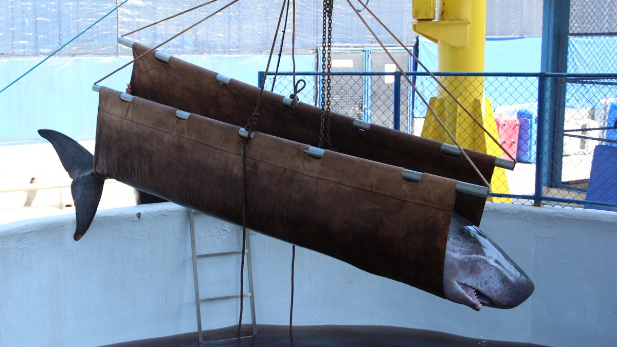 A Baleia Cachalote-pigmeu, resgatada em Imbituba, veio a óbito em Florianópolis