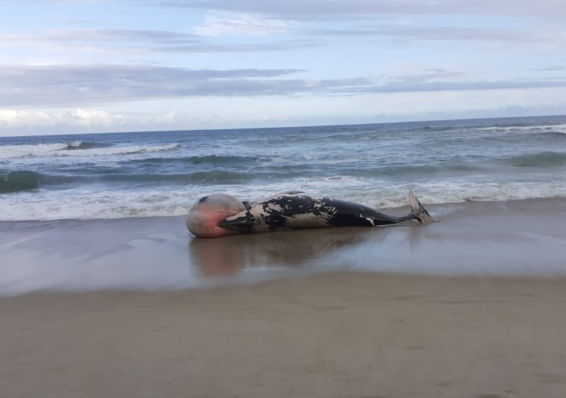 Baleia-minke (Balaenoptera sp.) encalhou morta entre as Praias do Campeche  e Morro das Pedras em Florianópolis