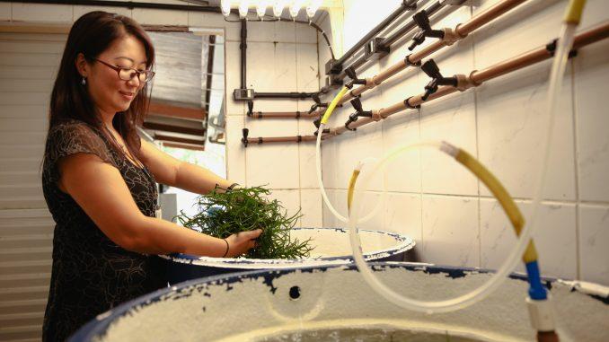 Produção da macroalga traz benefícios ao meio ambiente e ao produtor