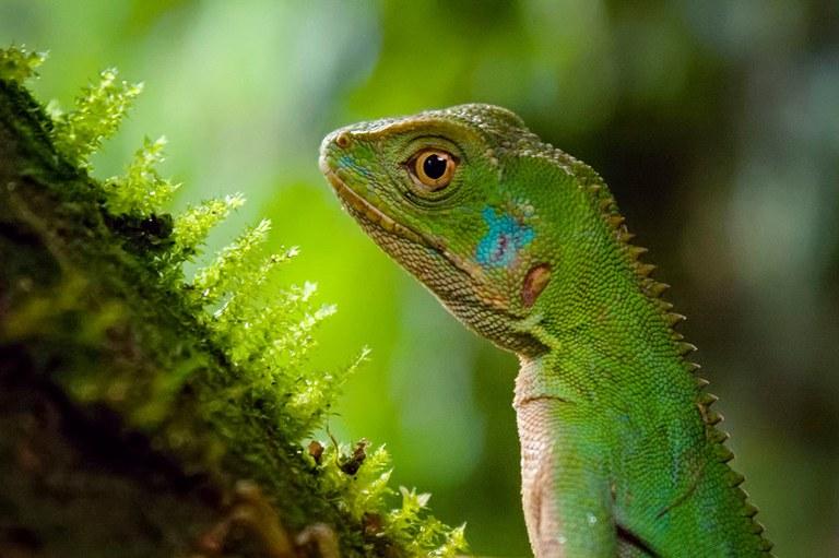 Ibama reintroduz lagartos à natureza após operação contra o tráfico internacional em SP