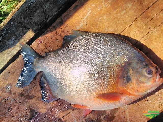 Desenvolvida a primeira linhagem de peixe sul-americano resistente a patógeno comum na piscicultura