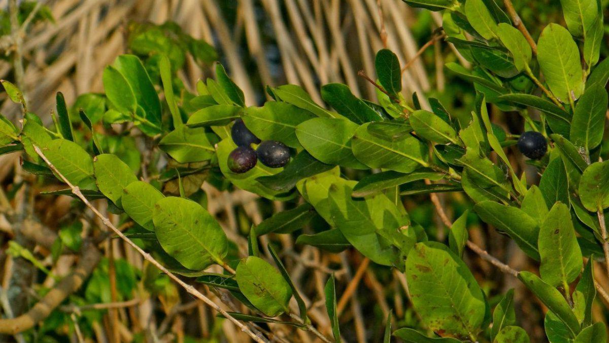 Planta ameaçada de extinção é localizada pela Secretaria do Ambiente