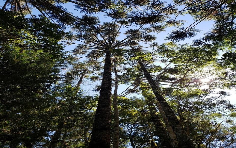 Pesquisa da UFSC aponta que preservação da araucária é mais eficiente quando comunidades locais participam