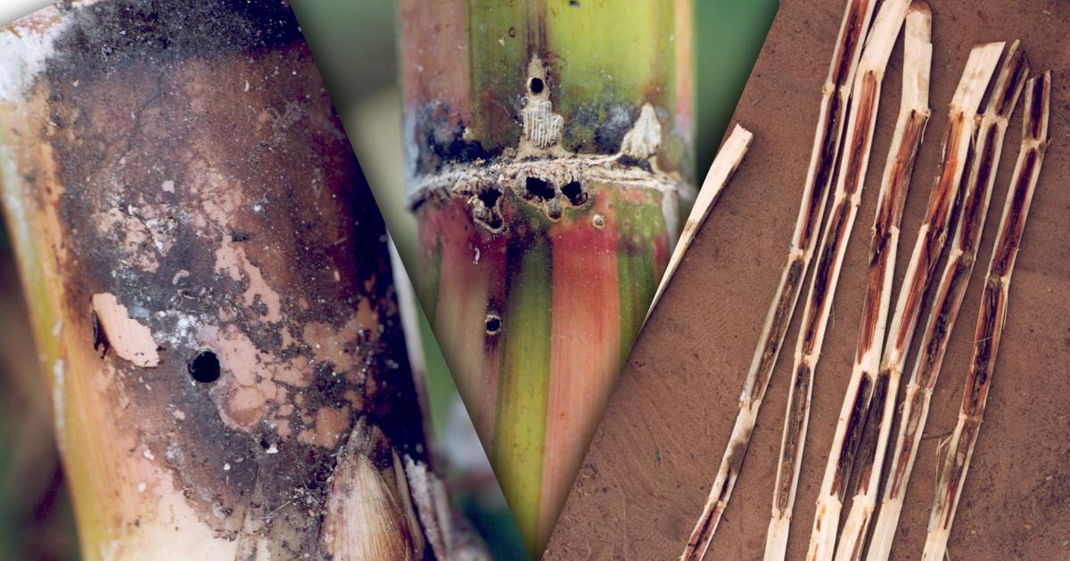 Fungo causador da podridão vermelha 'manipula' insetos e plantas para se disseminar pelos canaviais
