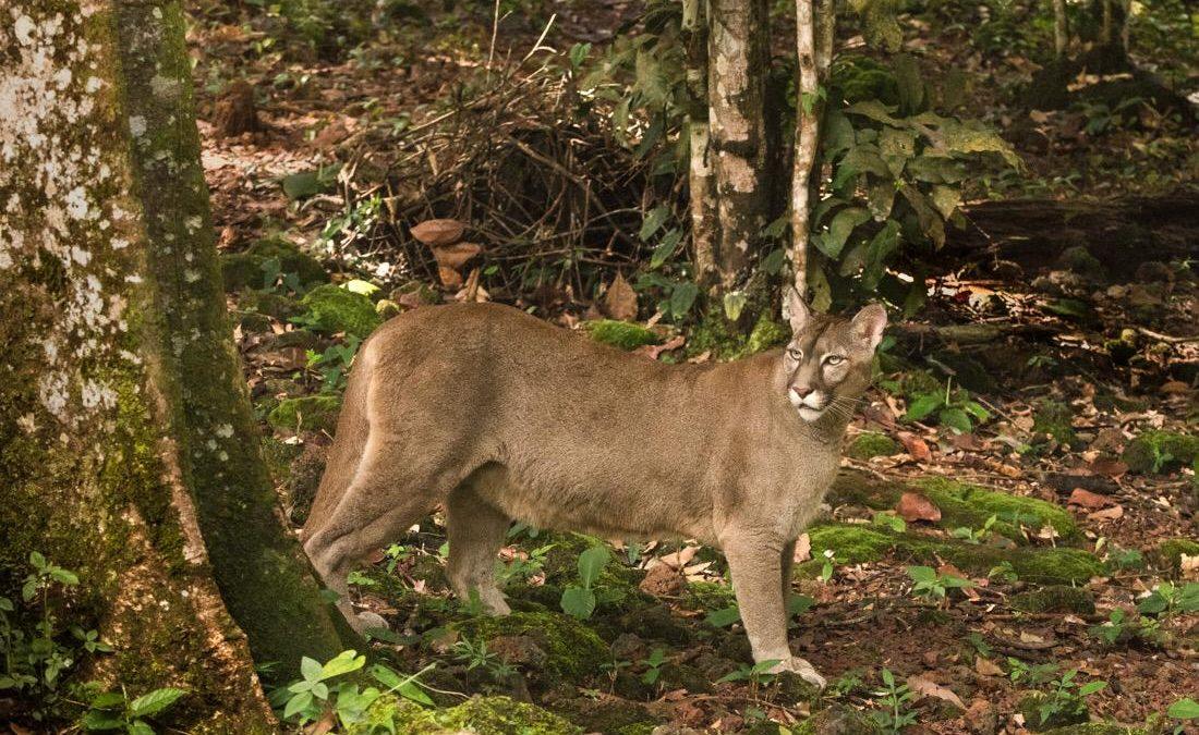 Segundo maior felino do continente é flagrado em parque do Inea