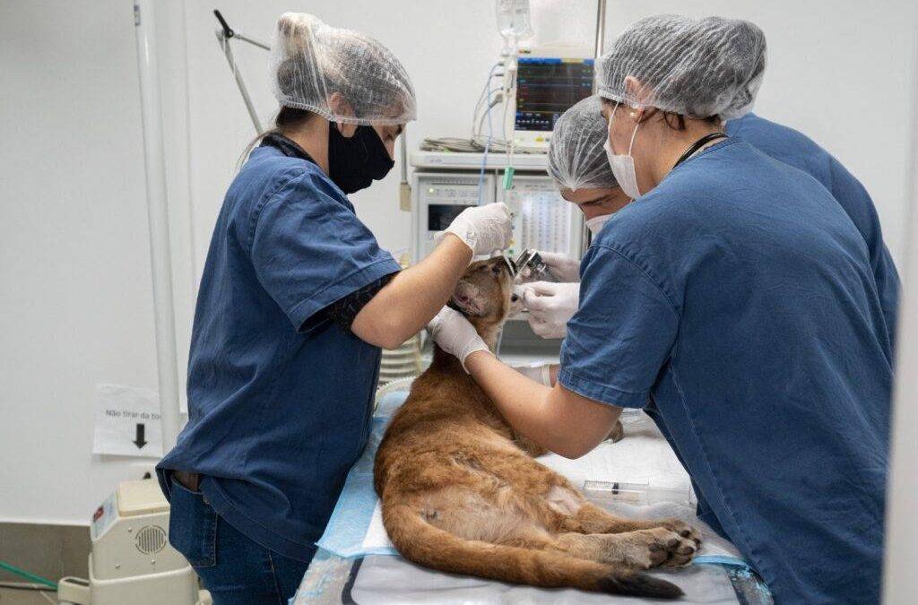 Onça recebe tratamento experimental em centro de atendimento da fauna silvestre