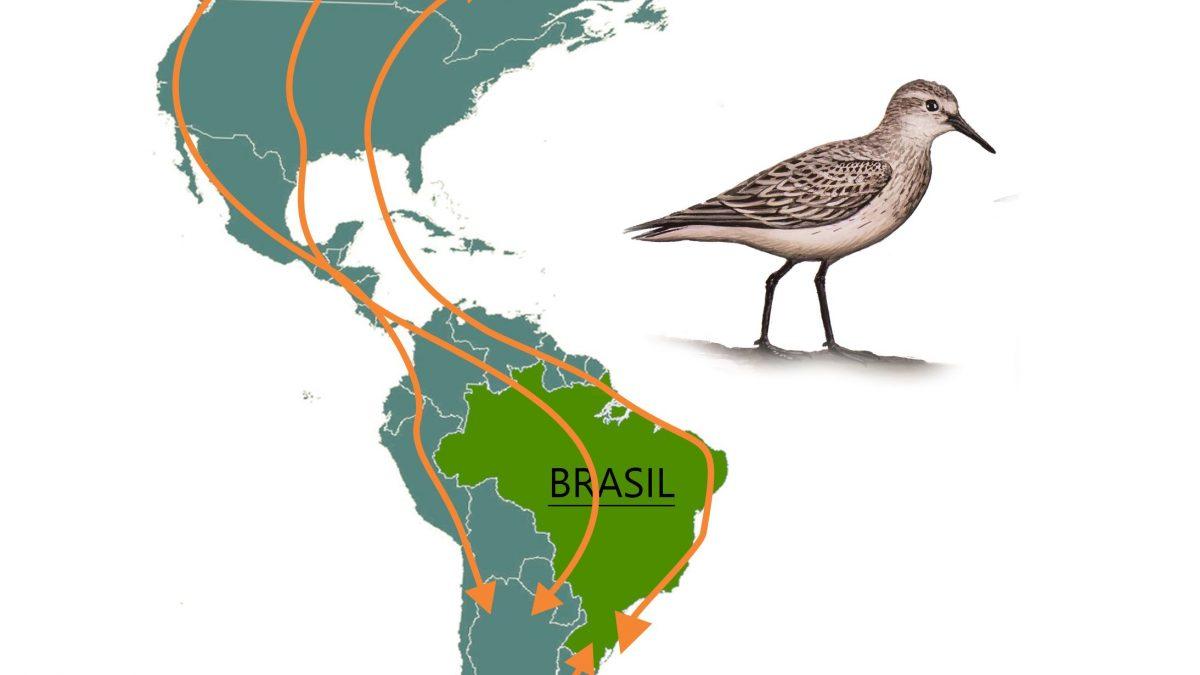 As aves Migratórias do litoral catarinense